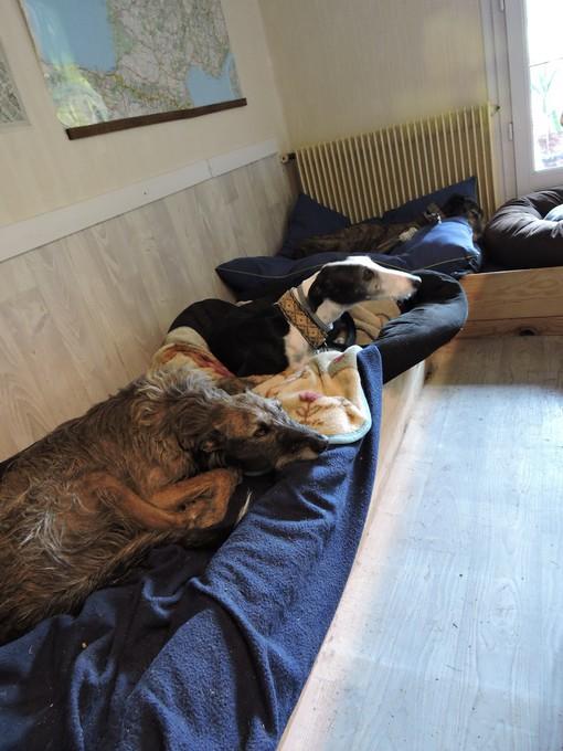 Careta grande galga noire et blanche, bientôt 6 ans.Scooby France  Adoptée  - Page 5 Dscn4815