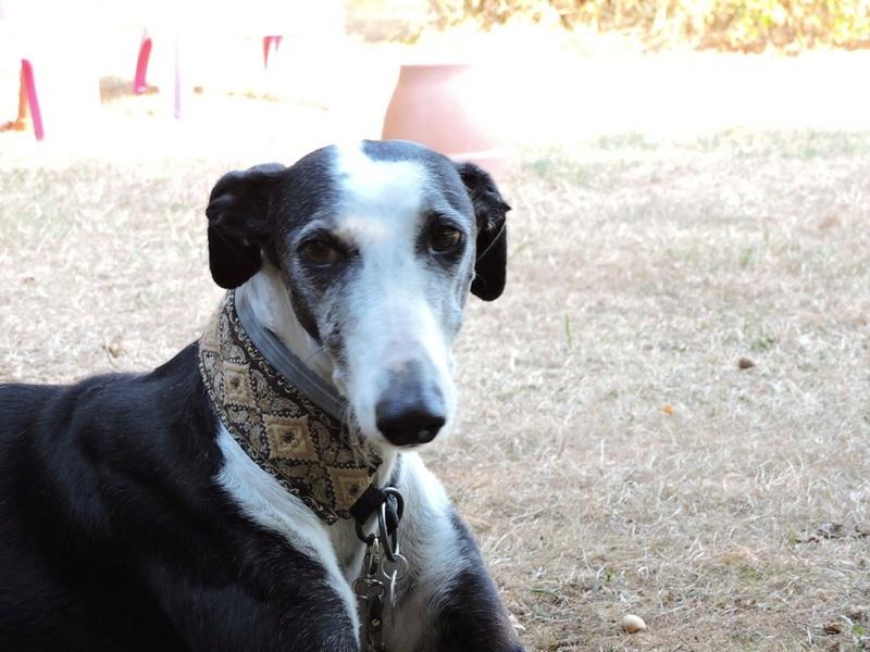 Careta grande galga noire et blanche, bientôt 6 ans.Scooby France  Adoptée  - Page 5 Dscn4817