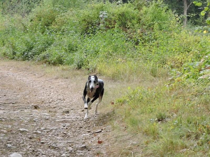 Careta grande galga noire et blanche, bientôt 6 ans.Scooby France  Adoptée  - Page 5 Dscn4910