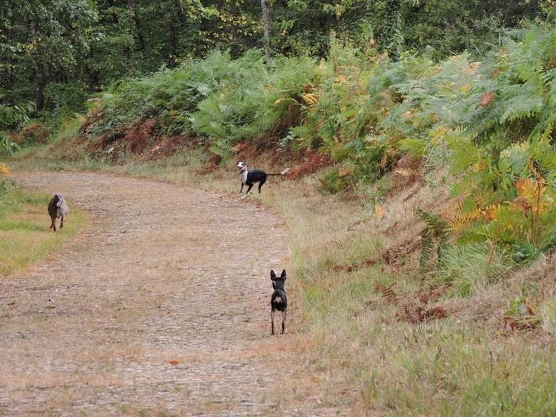 Careta grande galga noire et blanche, bientôt 6 ans.Scooby France  Adoptée  - Page 5 Dscn4911