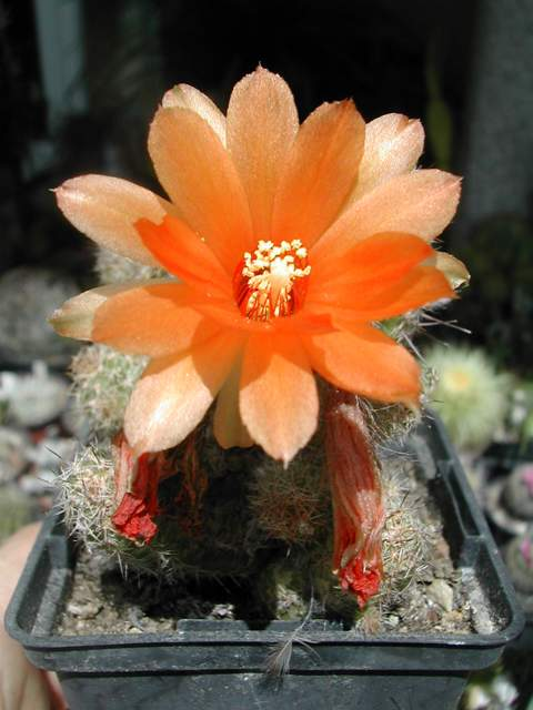 Seconde vague de floraison chez les cactus fin juin Chamae10