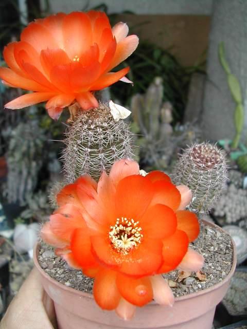 Seconde vague de floraison chez les cactus fin juin Chamae11