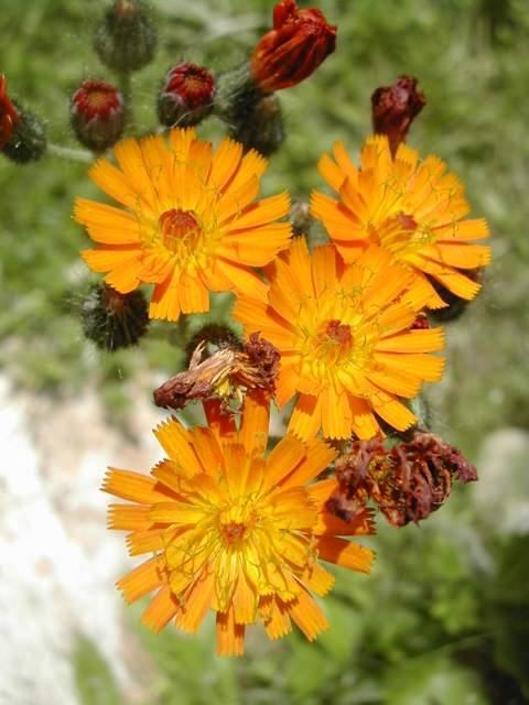 Crepis aurea Crepis10
