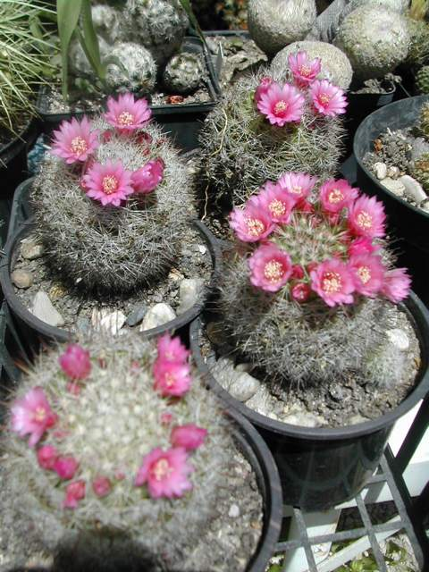 Seconde vague de floraison chez les cactus fin juin Mamill10