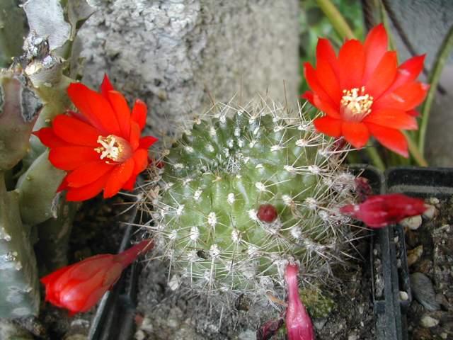 Seconde vague de floraison chez les cactus fin juin Rebuti10