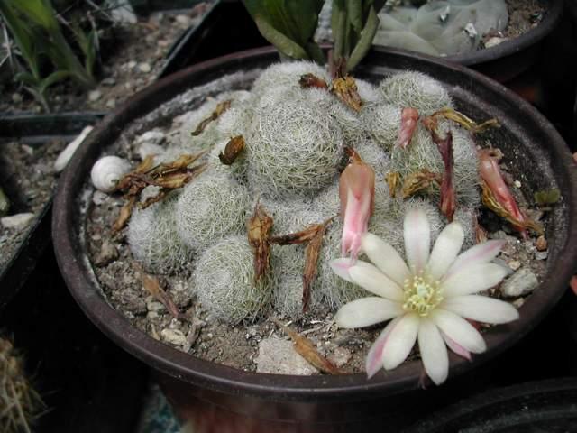 Seconde vague de floraison chez les cactus fin juin Rebuti11