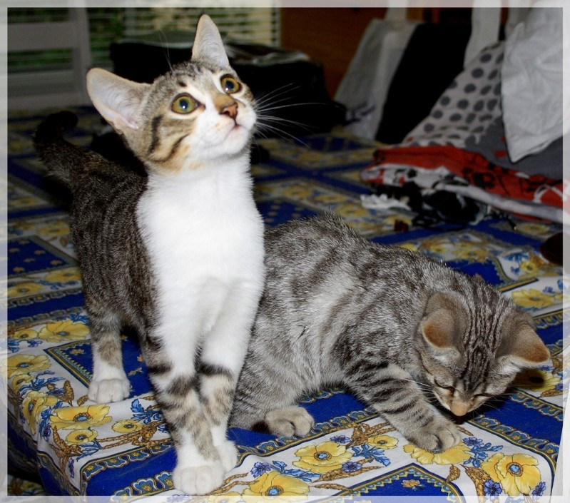 Hardeco, jeune chat mâle tigré et blanc 011_1110