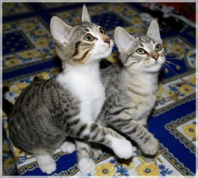 Hardeco, jeune chat mâle tigré et blanc 012_1110