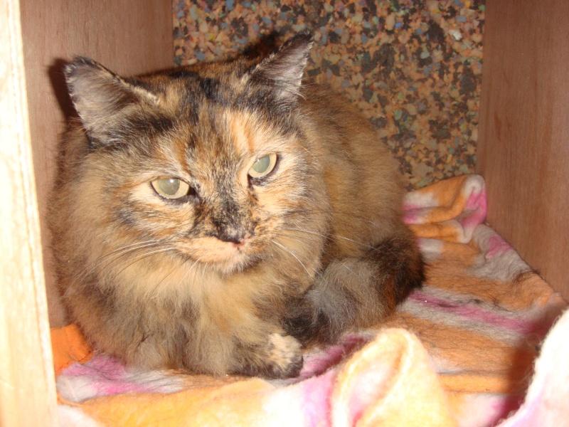 Trouvé à Colomiers, chatte tricolore poils mi-longs - 01/2011 Dsc05014