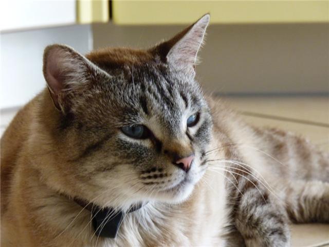 Perdu à Tournefeuille, chat typé siamois grand gabarit Perdub11
