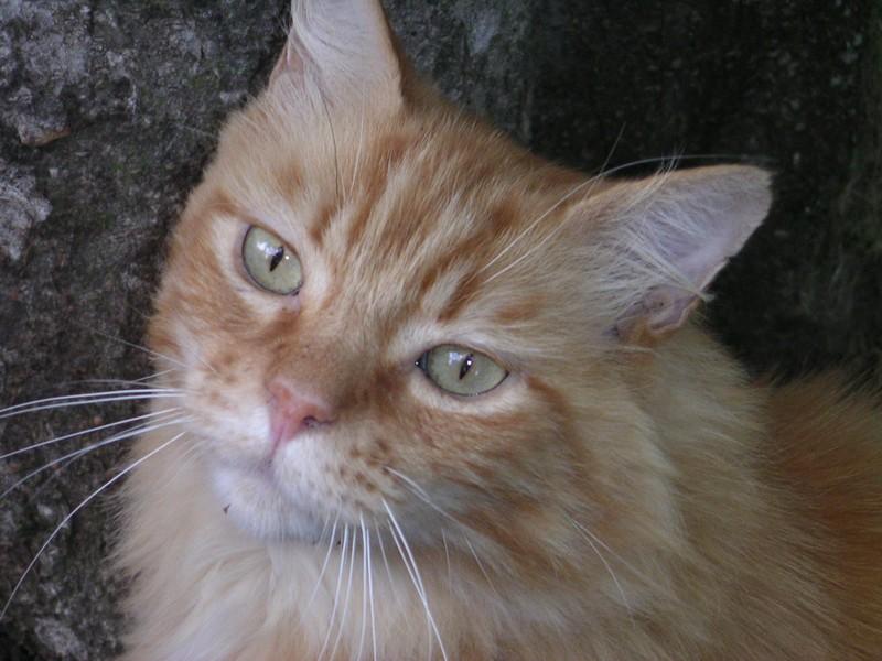 Trouvé chat roux poil mi-long, Lardenne août 2010 Pict0310