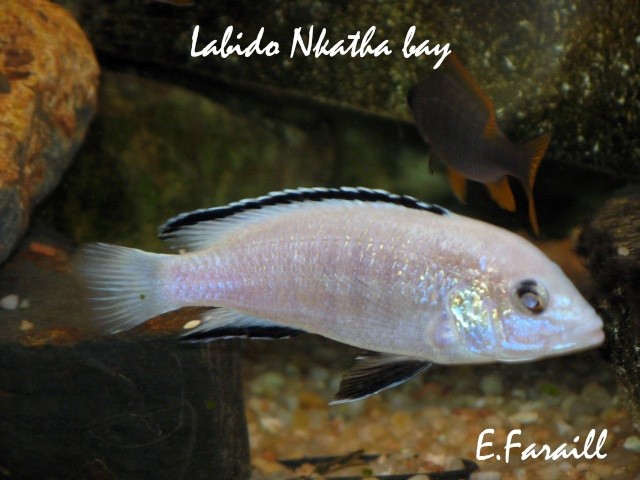 Labidochromis caeruleus Labido10