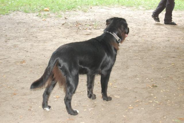 Lilas, x labrador de 9/10mois trouvé sur l'autoroute Lilasa11