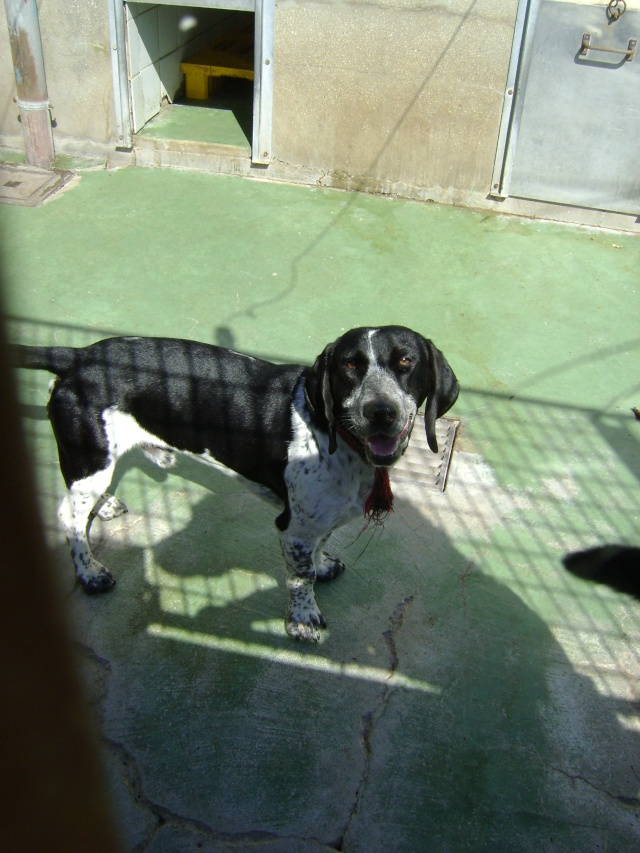 MAX, croisé beagle mâle, 2 ans (59) Dsc08614