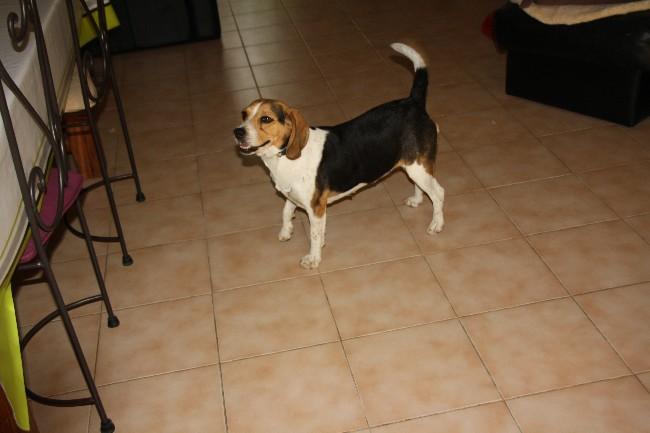 PEPETTE, beagle femelle, 2 ans (46) Img_7113