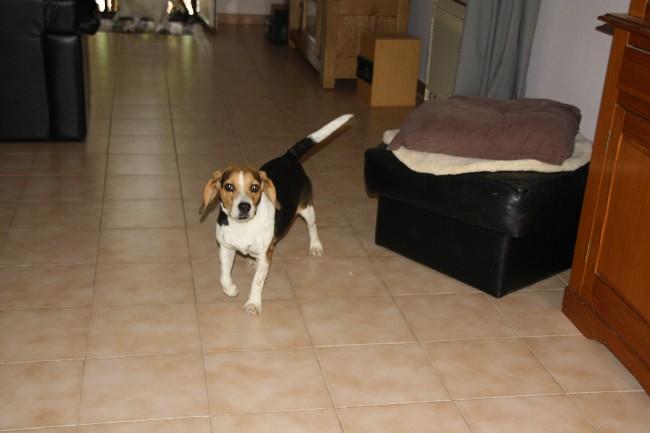 PEPETTE, beagle femelle, 2 ans (46) Img_7114