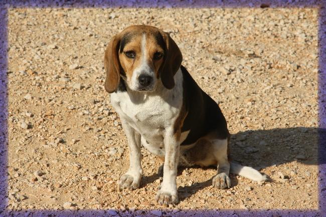 PEPETTE, beagle femelle, 2 ans (46) Img_7310