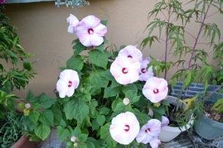 hibiscus manihot Dsc_0010