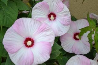 hibiscus manihot Dsc_0011