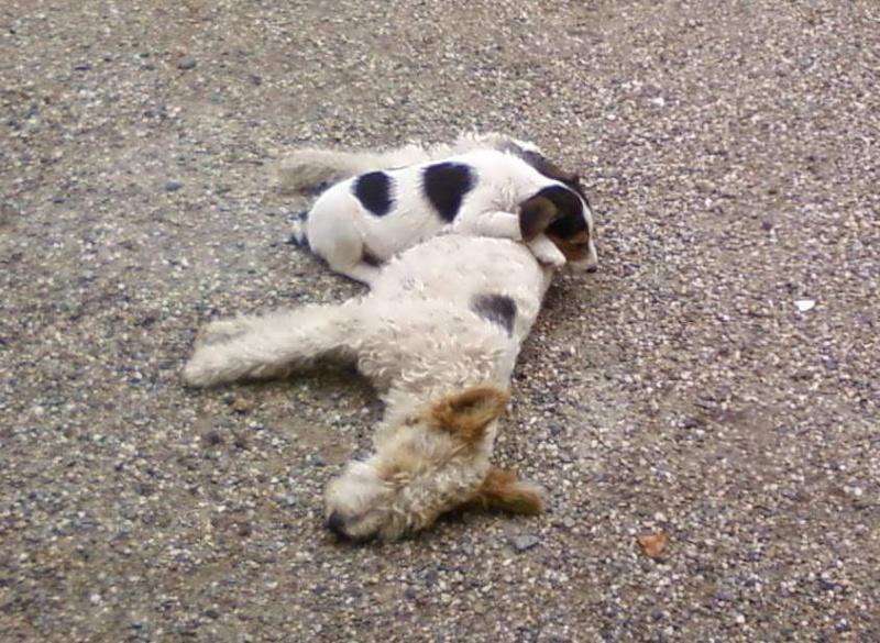 2 fox terrier volés dans le 47 Dolly13