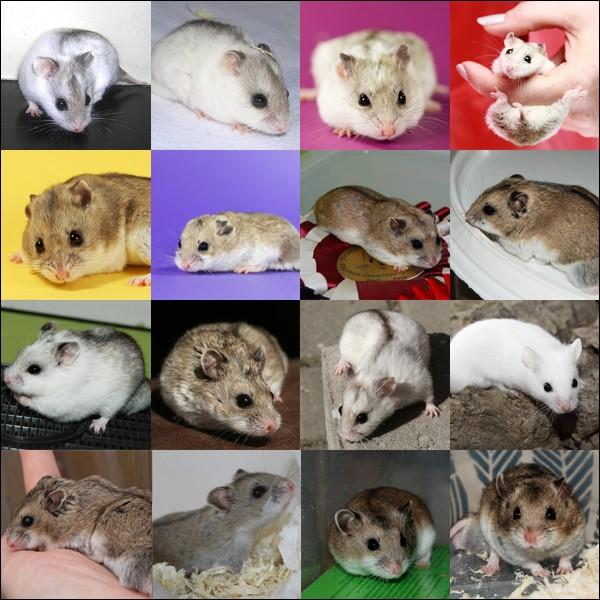 Fiche : les 5 espèces domestiques Chinoi12
