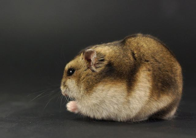 Photos de vos hamsters russes  Dsc02410