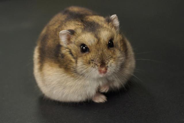 Photos de vos hamsters russes  Dsc02411