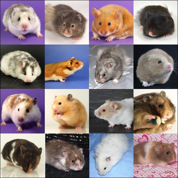 Fiche : les 5 espèces domestiques Syrien11