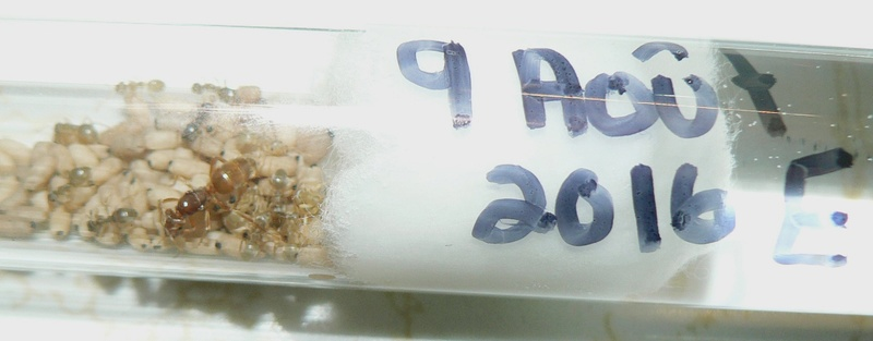 Lasius sp. à fondation dépendante de québec ---Lylo P1220313