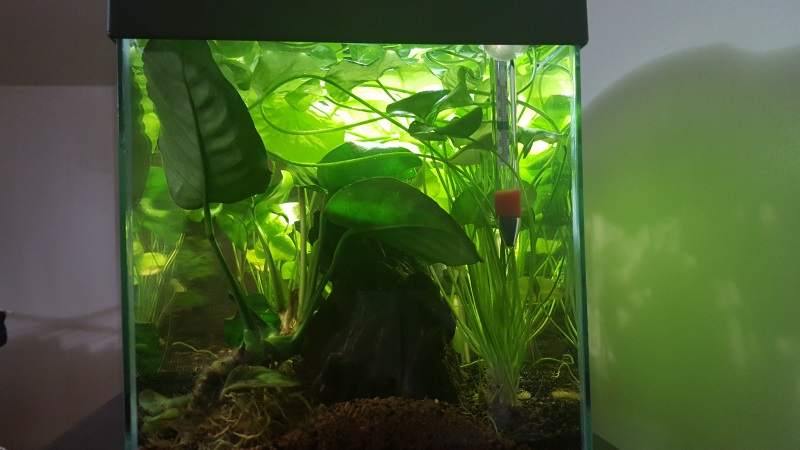 Mes aquariums de betta splendens 20160810