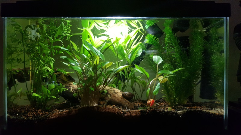 Mes aquariums de betta splendens 20160815