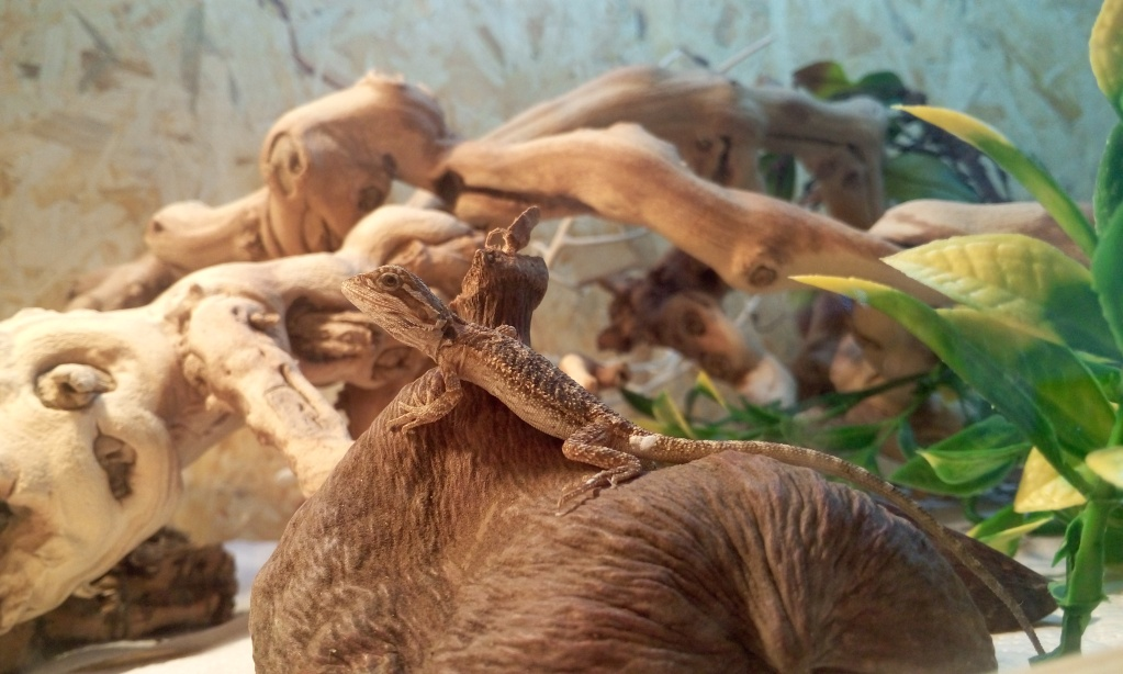 Avis sur terrarium pour Pogona de 2 mois P6062713