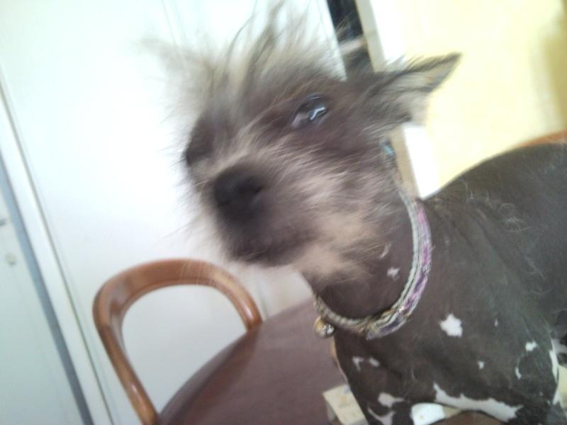 vend collier pour petit chien Snc00519