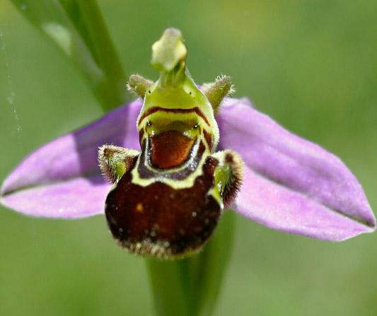 Ophrys apifera formes avec clés de recherches... Apifer12
