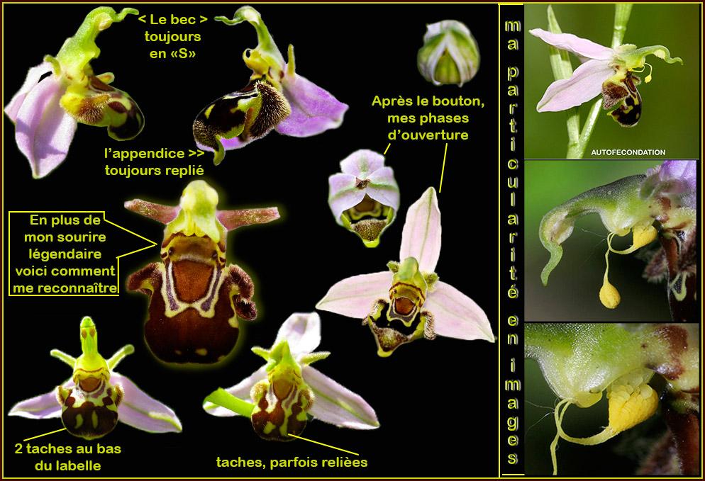 Ophrys apifera formes avec clés de recherches... Apifer13