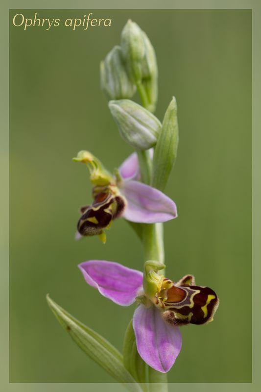 Ophrys apifera formes avec clés de recherches... Ophrys11
