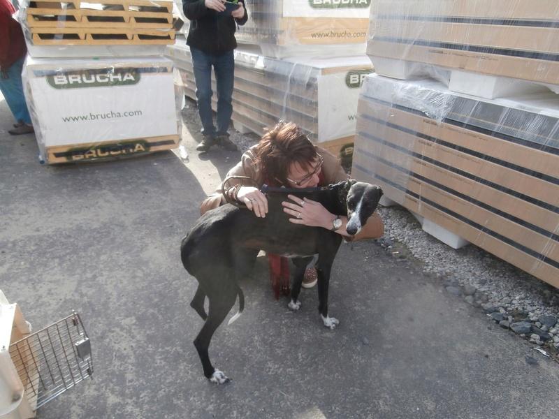 Brunela, fine galga noire et blanche, 2 ans  Scooby France Adoptée  Brunel11