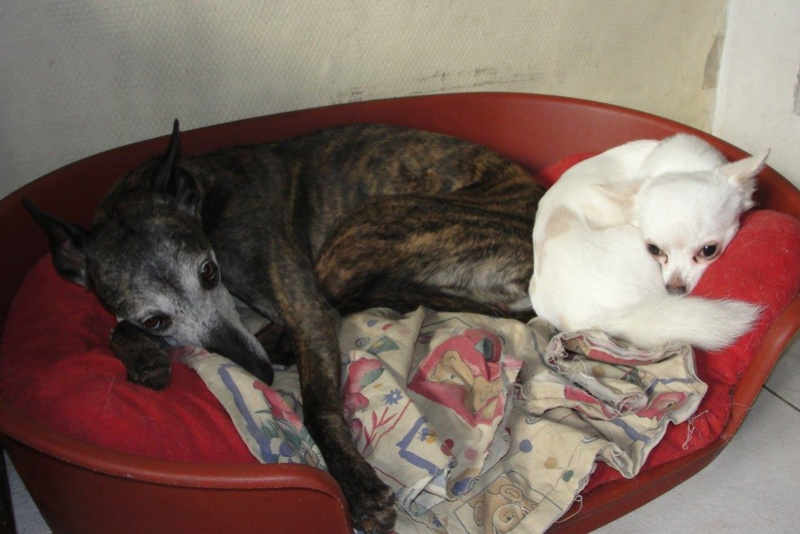 Shiva petite whippet de 7 ans et demi à l'adoption Scooby France Adoptée  Chiva_11