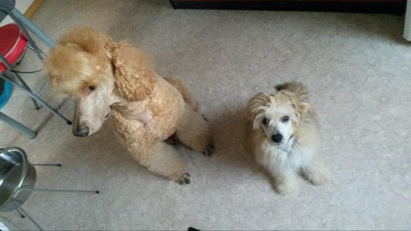 MANI petit chien chinois à houpette de 4 mois  Adopté Mani_e10