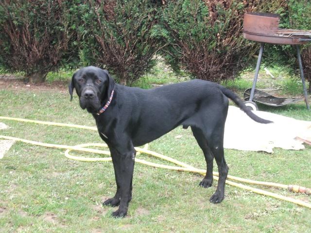 BANZAI... croisé labrador noir... adopté en aout 2008 Banzai10