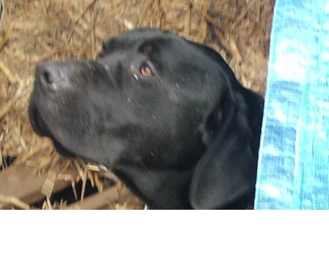 BANZAI... croisé labrador noir... adopté en aout 2008 Banzai11