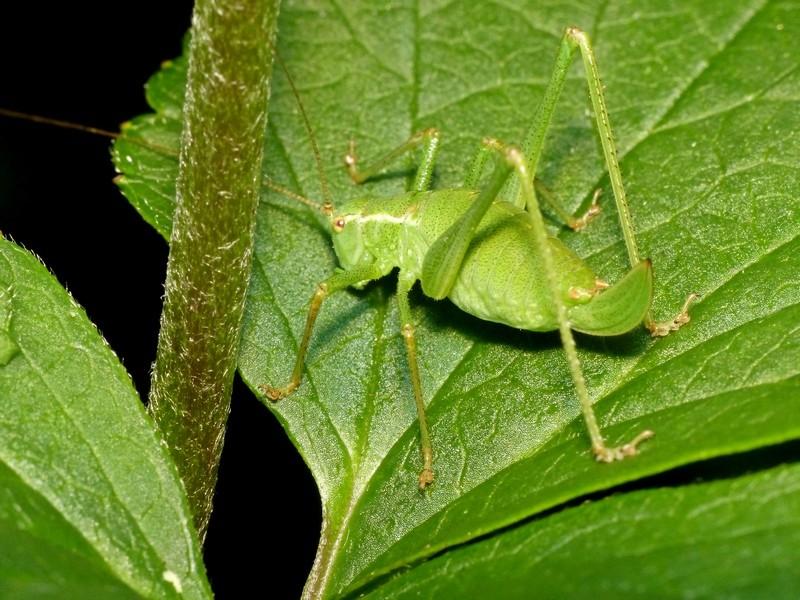 [Leptophyes punctatissima] Sauterelle arboricole... 29_07_10