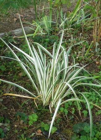 Iris japonica 'variegata' 04102022