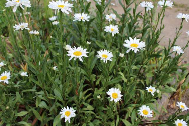 Leucanthemum maxima !!!  - Page 2 05072011
