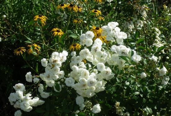 Rosa 'Little White Pet' !!! 09082024