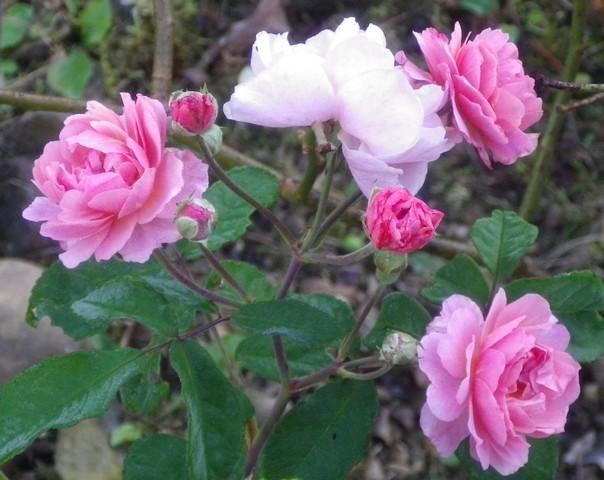 Rosa 'Cornélia' !!! 09102012
