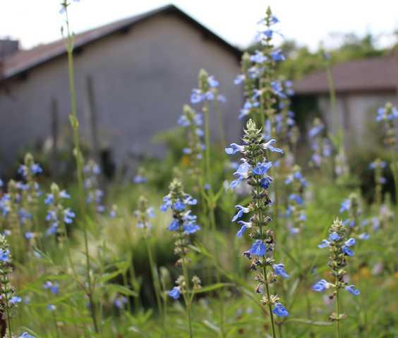 plante a identifier 647..... Résolu      Salvia uliginosa!       10072017