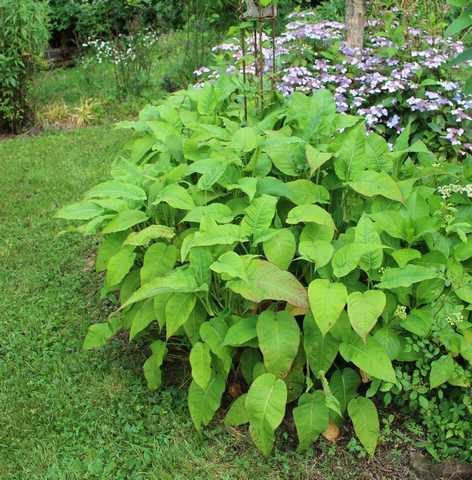 Persicaria amplexicaulis atrosanguinea !!!  13062011