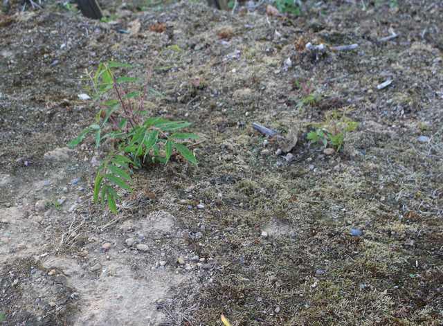 Petit arbre sans nom.........Rhus typhina - Page 2 14072011