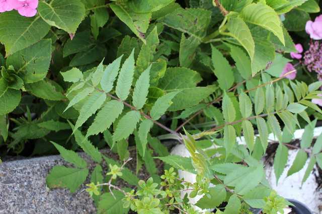 Petit arbre sans nom.........Rhus typhina - Page 2 14072012